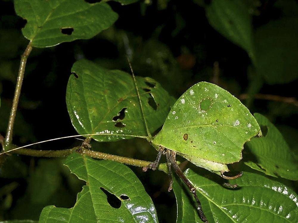 Typohyllum mortuifolium