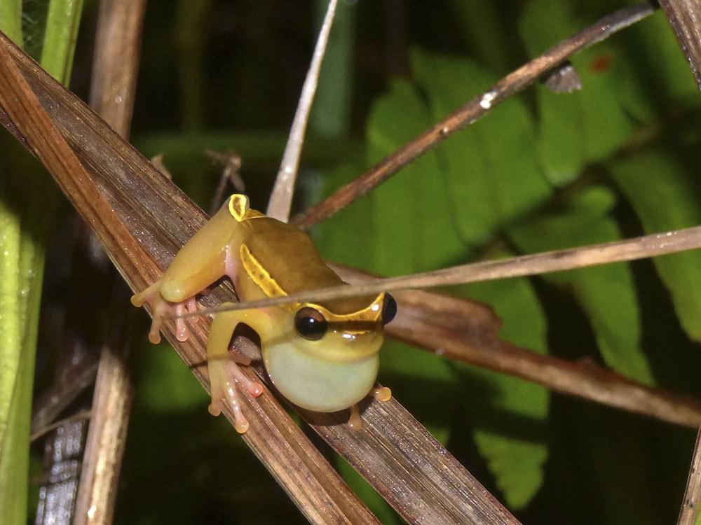 Dendrosophus Bifurcus