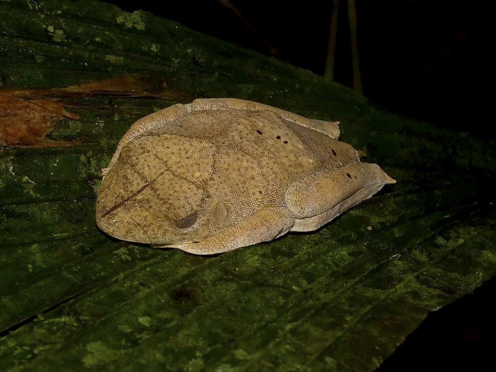 Hypsiboas Geographicus