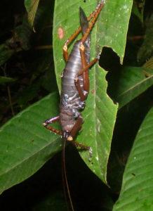 Panoploscelis specularis