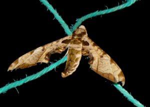 Protambulyx eurycles1
