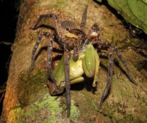 ctenidae1