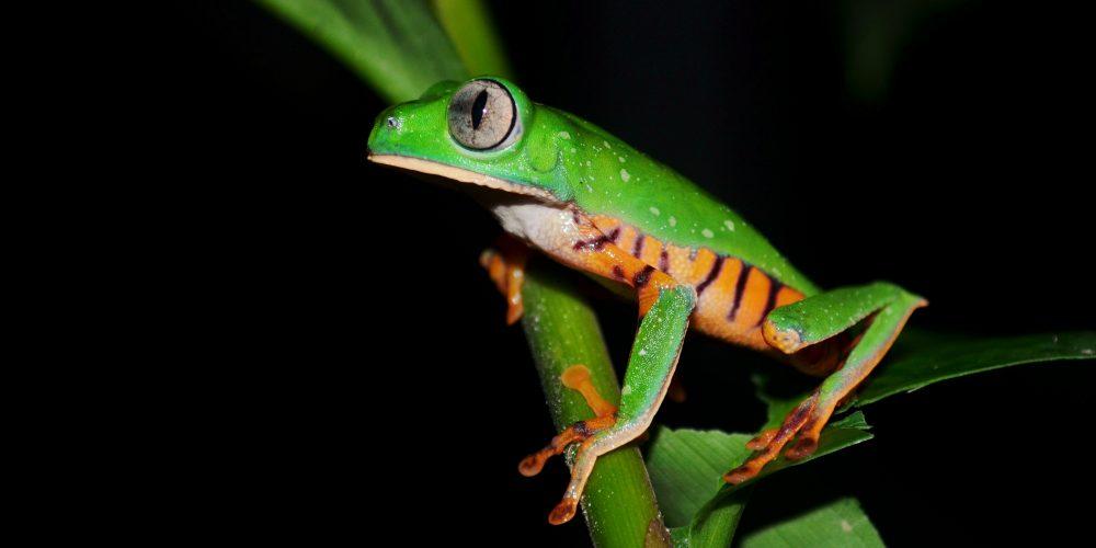 Anfibios en la noche del Parque Nacional de Yasuní, una experiencia en la selva Amazónica